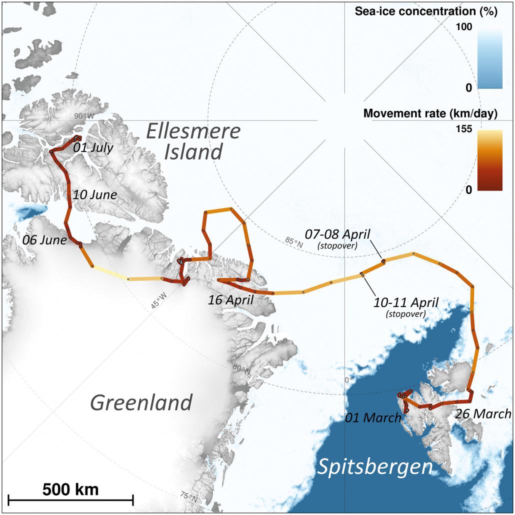 Fjellrev Vandret Fra Svalbard Til Canada Pa 76 Dager